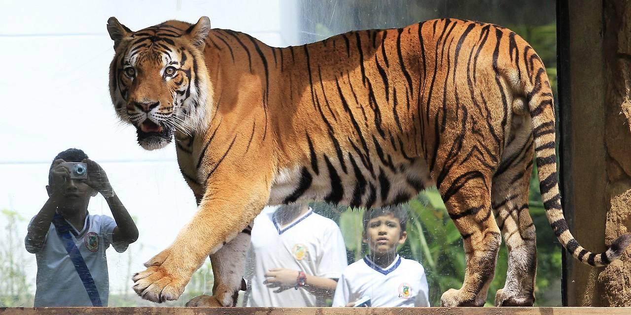 Tiger in Gehege
