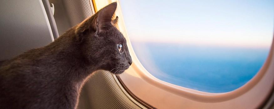 Katze schaut aus einem Flugzeugfenster