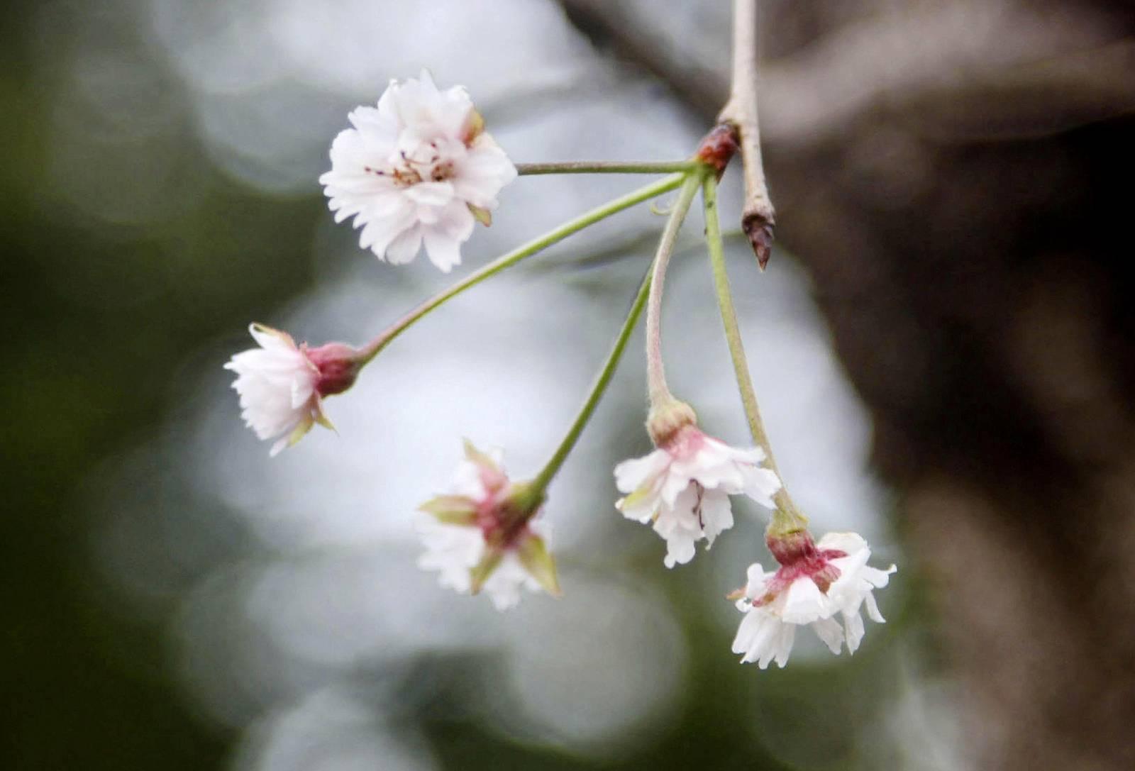 Taifune bringen Japans Kirschbäume zum Blühen