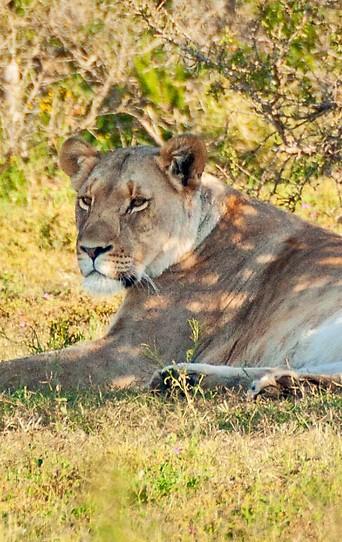 Löwin in freier Wildbahn