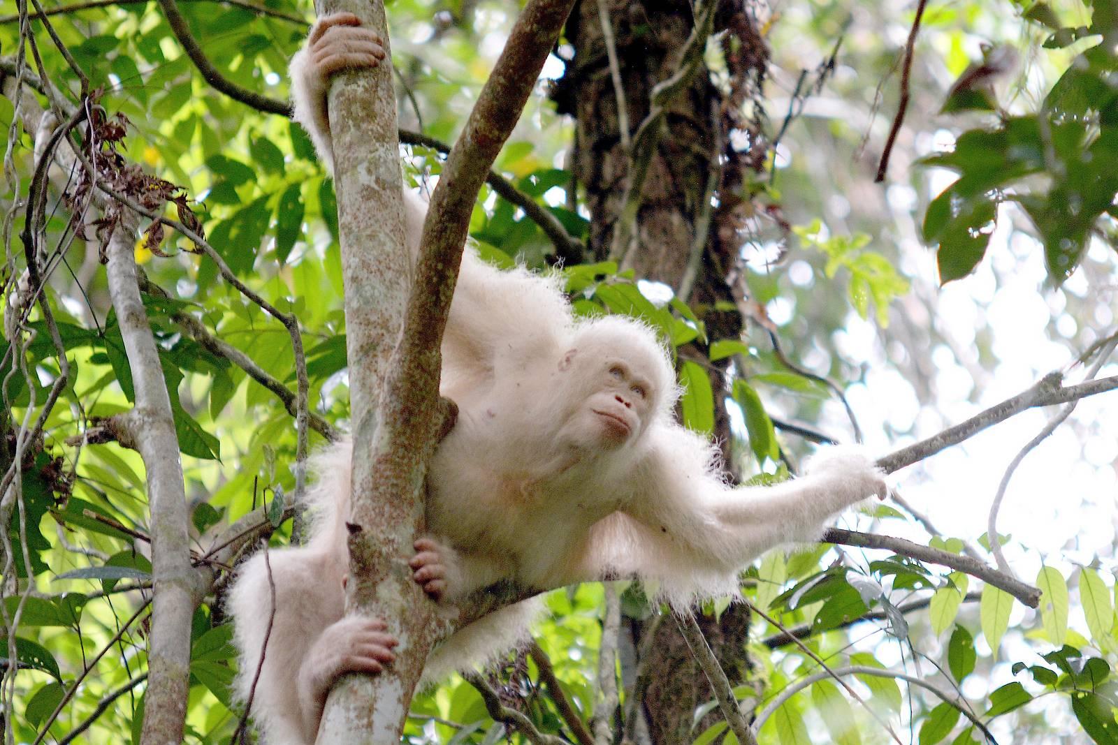 Weißer Orang-Utan gewöhnt sich an Leben in Dschungel