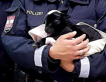 Polizisten mit Ziege