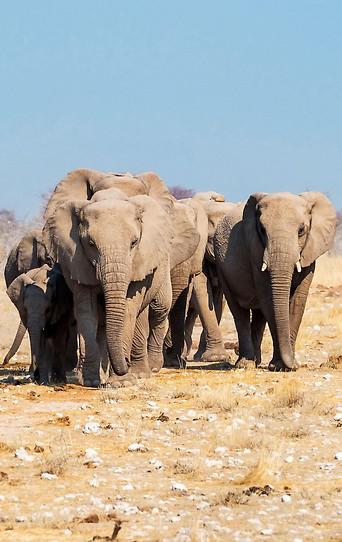 Elefantenherde im Estosha-Nationalpark in Namibia