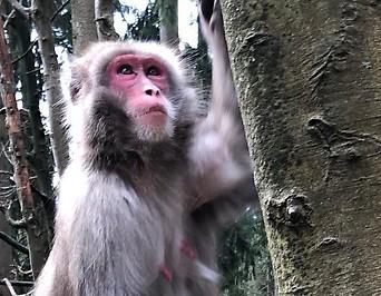Ein Makake klettert auf einen Baum