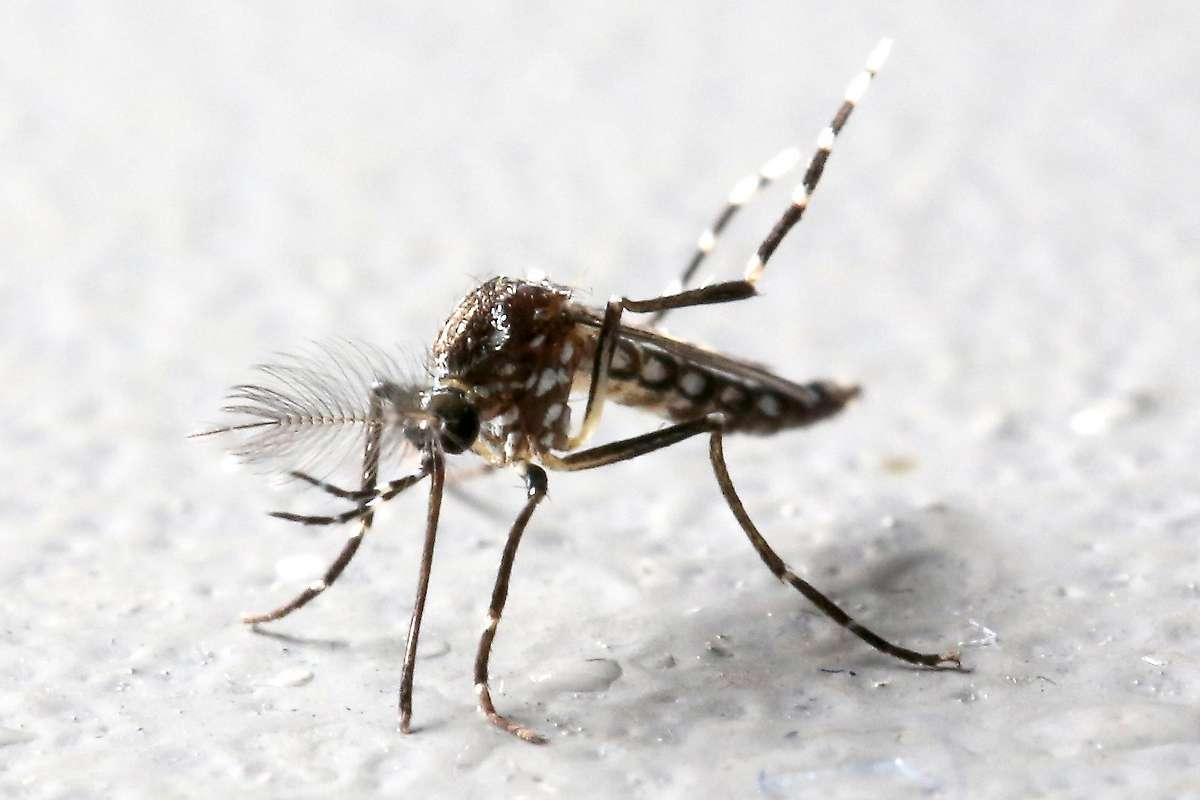 Gentechnik-Mücken breiten sich in Brasilien aus