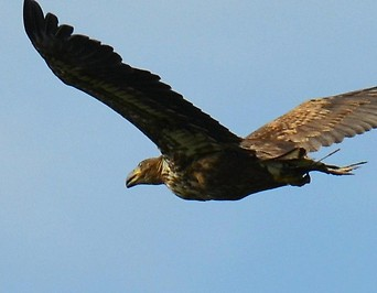 Juveniler Seeadler im Flug
