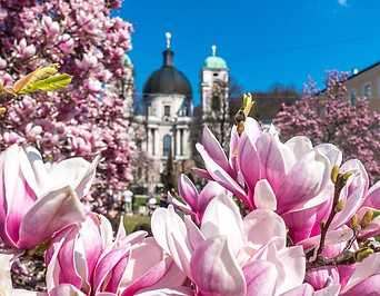 Magnolienblüten in Salzburg