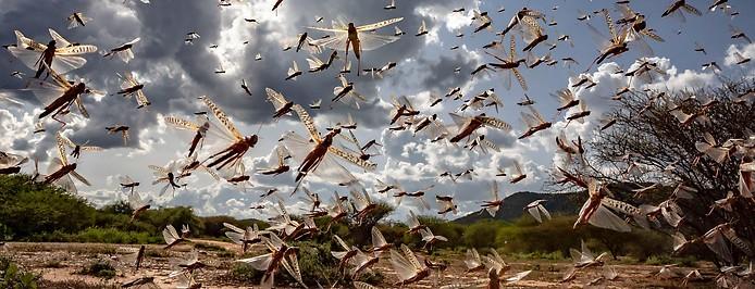 Heuschrecken in Kenia