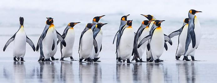 Eine Gruppe Kaiserpinguine