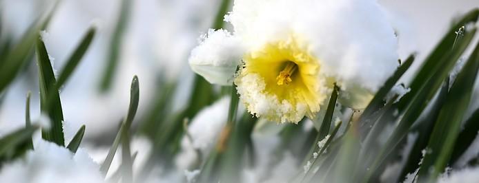 Narzisse mit Neuschnee bedeckt