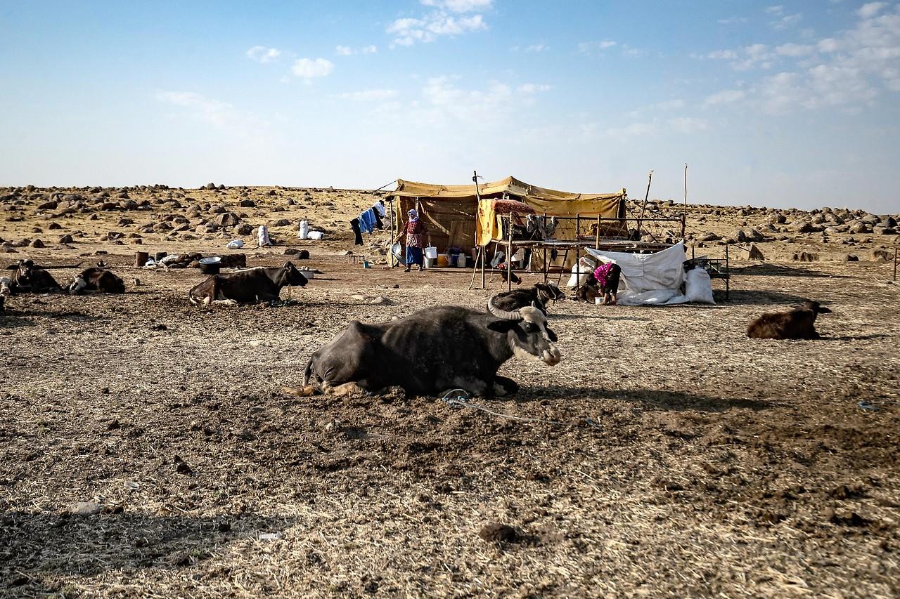 Vieherde auf vertrockneter Weide im syrischen Derik