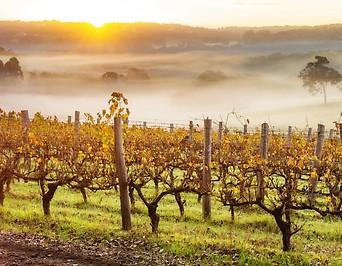 Herbststimmung mit Nebelschwaden im Weingarten
